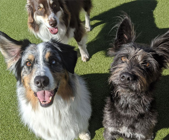 3 dogs smiling in the grass